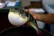 Fugu (Puffer Fish or Blowfish)