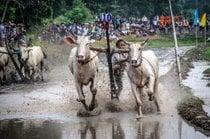Festival de Corridas de Vaca