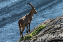 Ibex alpino