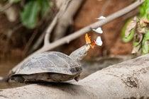 Mariposas que beben lágrimas de tortuga