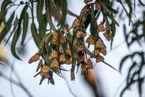 Migration du papillon monarque