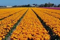 Stagione dei tulipani