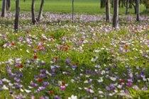 Anemone in Blossom