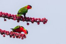 Collared Lory Breeding Season