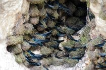 Harvest of Edible Swiftlet Nests
