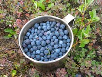 Wild Berry Season