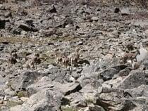 Tibetan Antelope (Chiru)