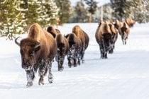 Migration des bisons
