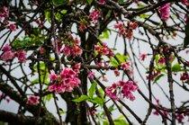 Waimea Cherry Blossom Heritage Festival