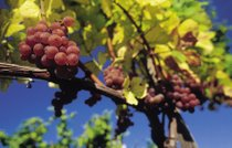 Stagione vinicola
