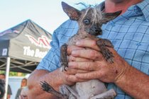 Der hässlichste Hundewettbewerb der Welt