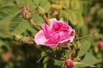 Florecimiento del Valle de las Rosas