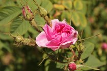 Rose Valley in Bloom