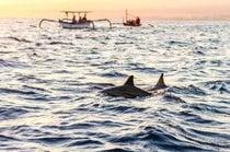 Lovina Dolphin beobachtet