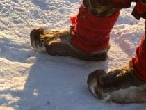 Trenó de renas e cultura Sami