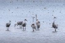 Migração dos grous