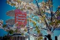 Festival de Blossom de Cereza del Norte de California