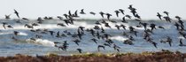Migrating Birds at Falsterbo