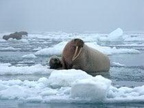 Walrus Watching