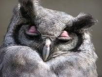 Owl Breeding Season