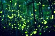Fireflies (Hotaru)