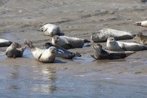 Seals in the Wadden Sea
