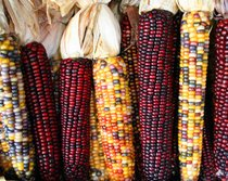 Especialidades de milho