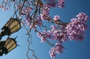 Jacaranda Bloom