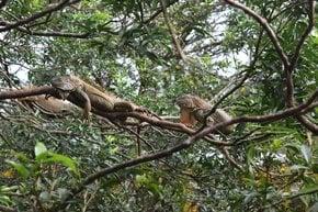Essen von Leguanen
