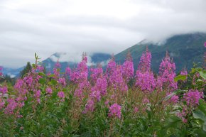 Fireweed and Shooting Stars Bloom