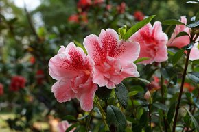 Rhododendron Blooming Season