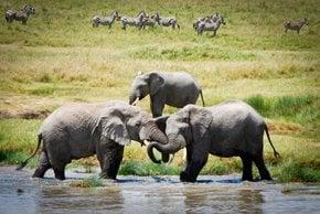 Rebanhos de elefantes