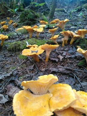 Mushrooms of the Olympic Peninsula