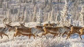 Migration printanière du caribou