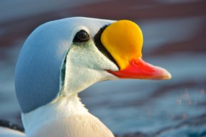 Arctic Sea Ducks