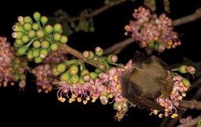 Ceiba Trees in Bloom