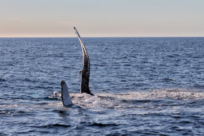 Whale Watching (Walbeobachtung)