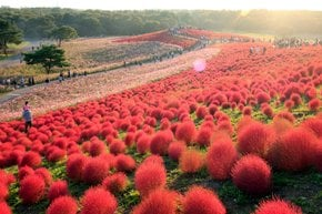 Flowering in Hitachi Seaside Park