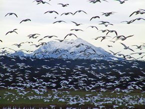 Snow Geese Spring Migration