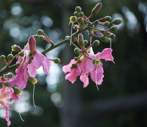 Palo Borracho Bloom