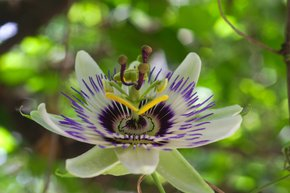 Blue Passion Flower Blooming