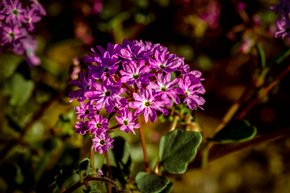 Yellowstone Sand Verbena