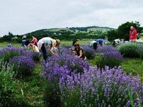 Tihany Lavender Field & Festival