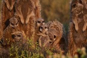 Meerkat Maravilla al amanecer