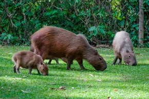 Capybara Watching (Breeding Season)