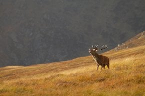 Red Deer​ Rutting