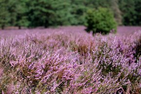 Heather Blooming