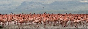 Flamingos on the Rift Valley Lakes