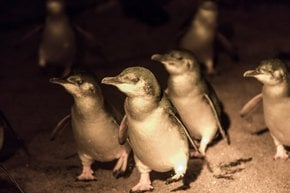 Guardando i pinguini più piccoli del mondo