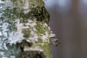 Birch Sap (Berezovyi Sik)
